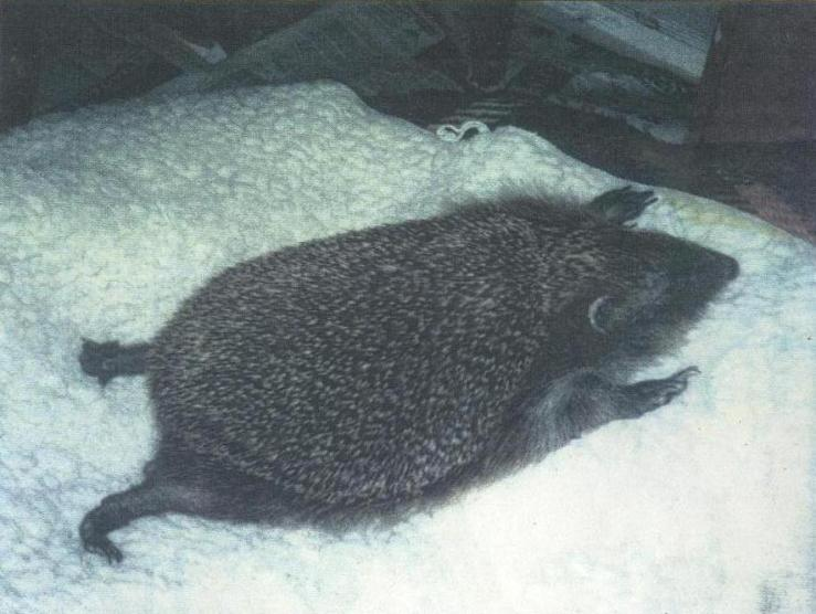 hedgehog relaxing