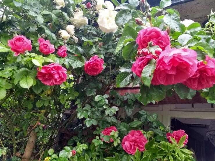 RosesAbove