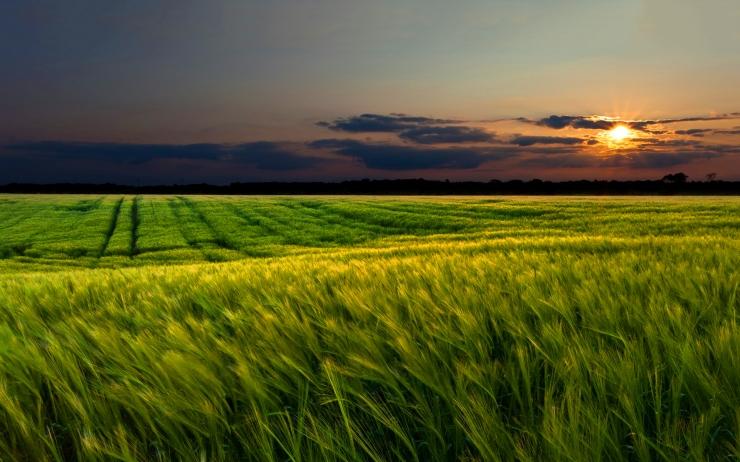 6927883-green-wheat-field-sunset