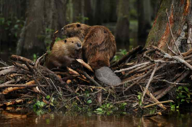 BeaverFamily2