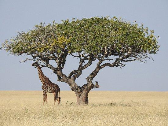 giraffeacacia