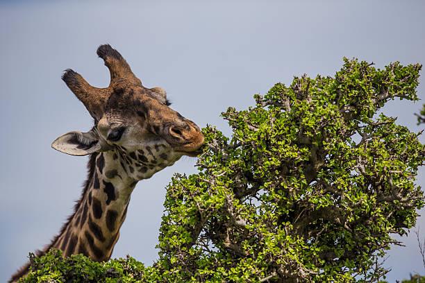 Giraffa (camelopardalis tippelskirchi), Giraffe, Masai Mara National Reserve.