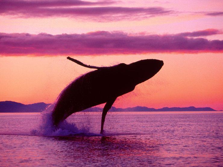 Hump-Back-Whale-humpback-whales-32310746-1600-1200