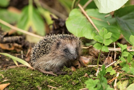 HedgehogGarden