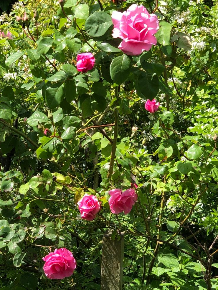 PinkScentedRoses.JPG