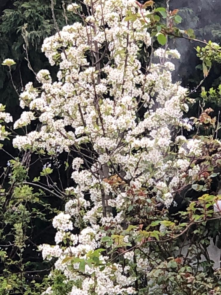 PearTreeBlossom