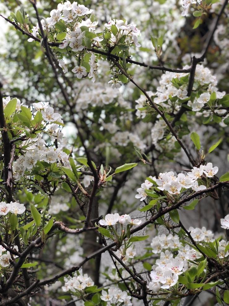 PlumTreeBlossom