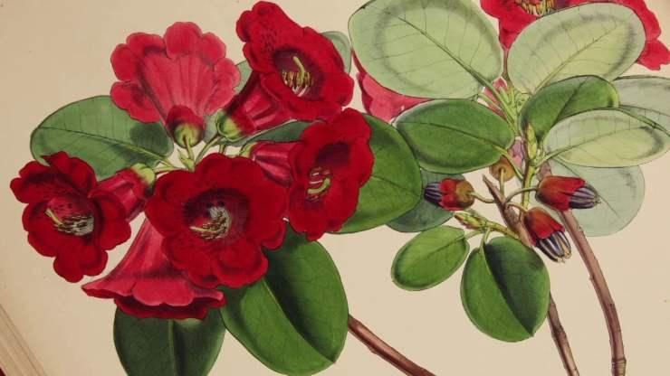JosephHookerRhododendron