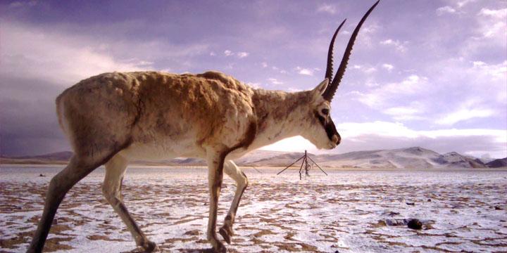 ChiruTibetanAntelope