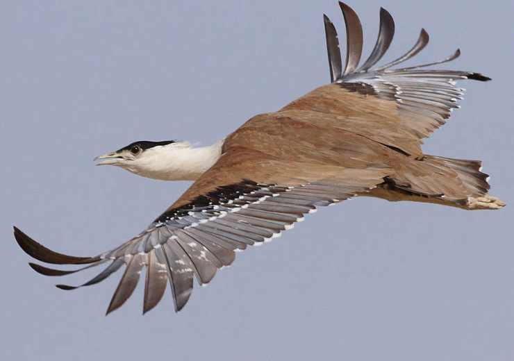GreatIndianBustard