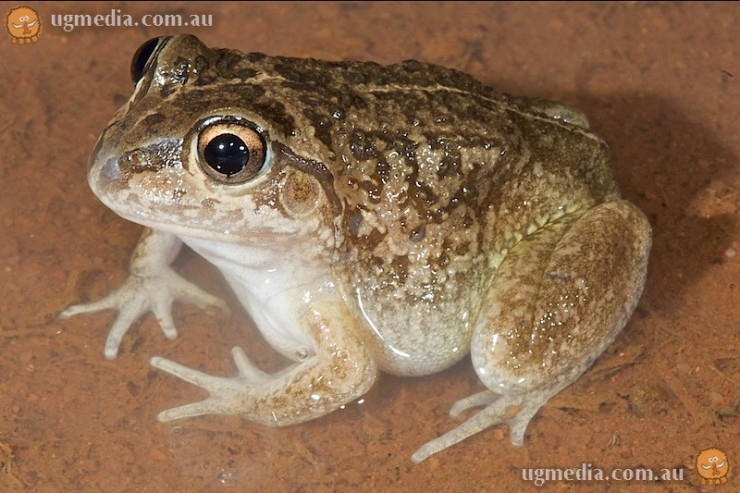 Main's frog (Cyclorana maini)