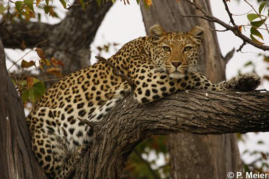 ArabianLeopard