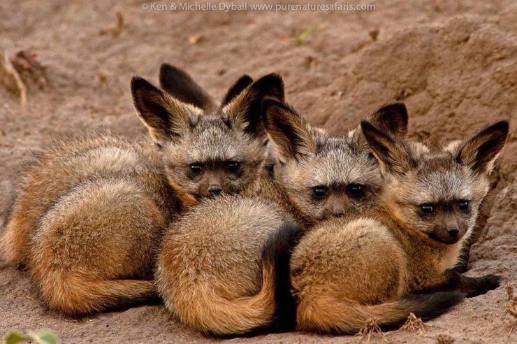 BabyBatEaredFoxes