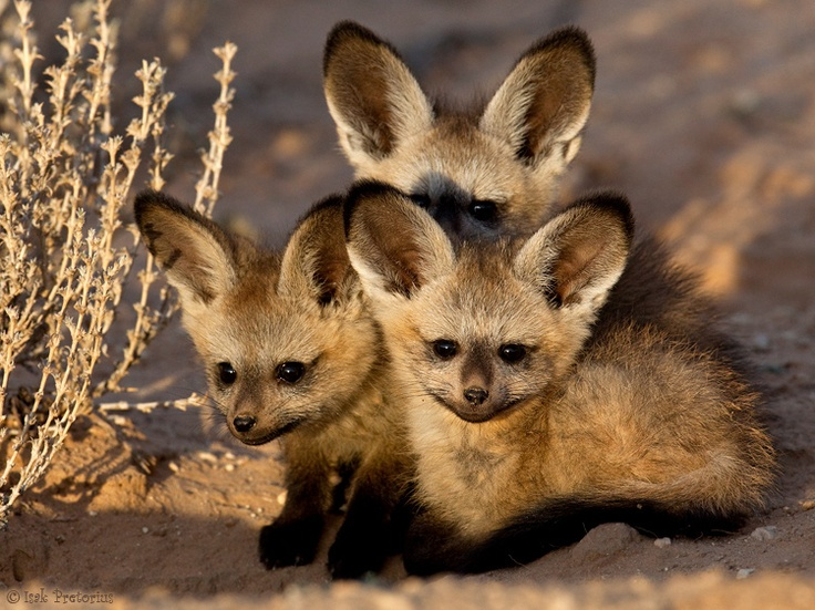 BabyBatEaredFoxes2