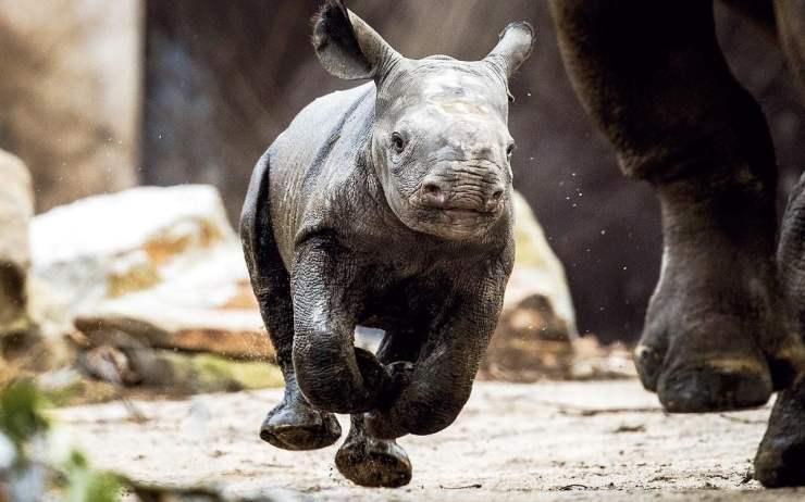 BabyBlackRhino