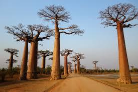 Baobabtrees