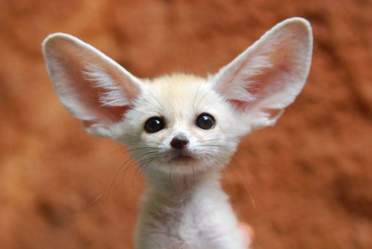 FennecFox