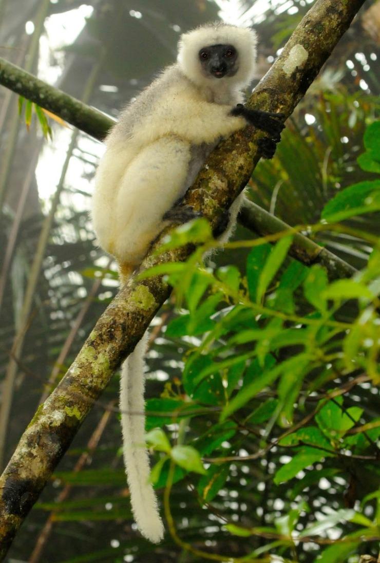LemurTail