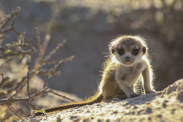 Meerkat pup (Suricata suricatta) at sunrise in the Kalahari Desert of South Africa