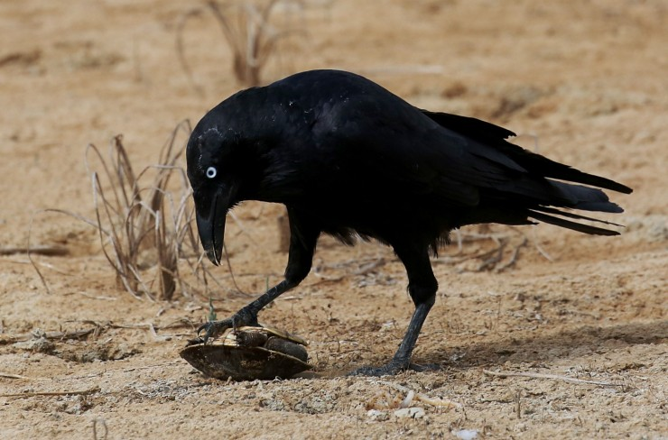 RavenTurtle