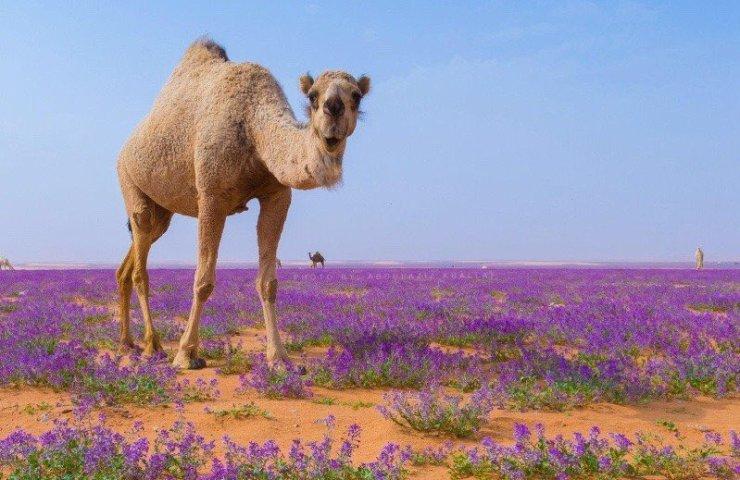DesertFlowersArabia
