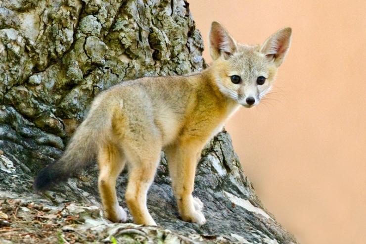 DesertKitFox