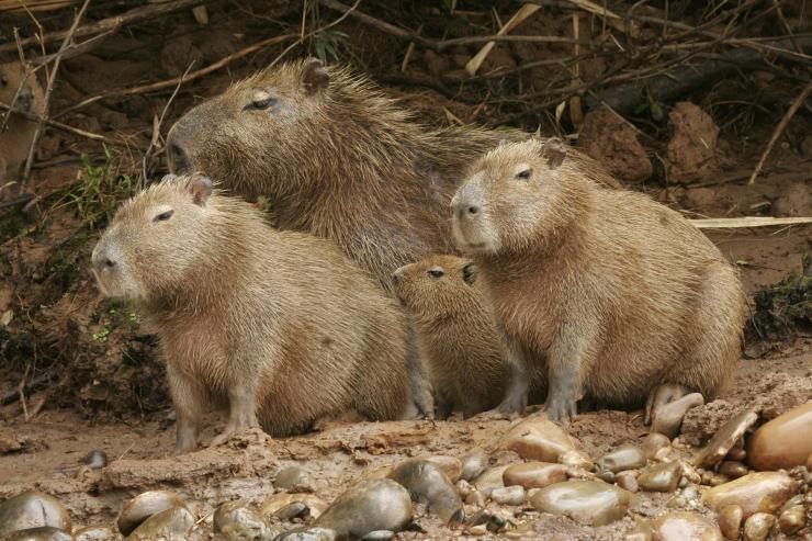 CapybarasAmazon