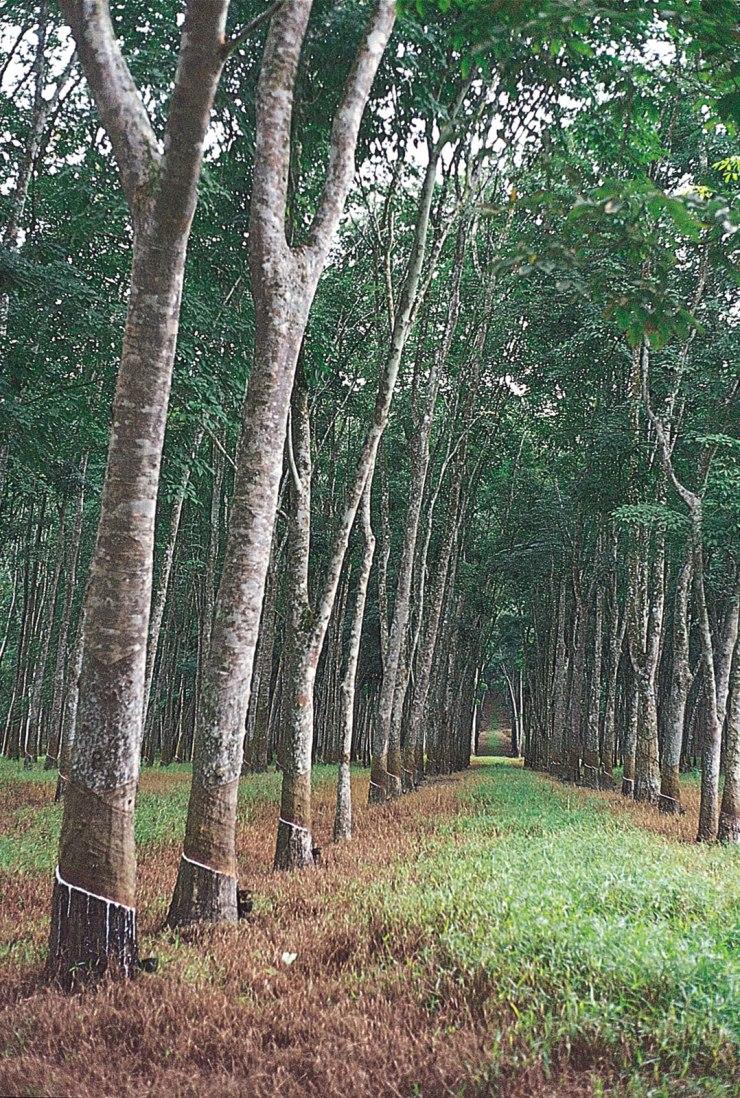 RubberTreesMalaysia