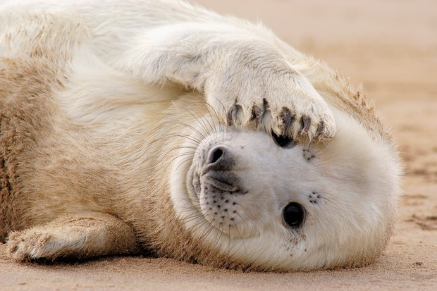 Grey Seal (Halichoerus grypus) Pup covering its face with one of its flips, Donna Nook, England