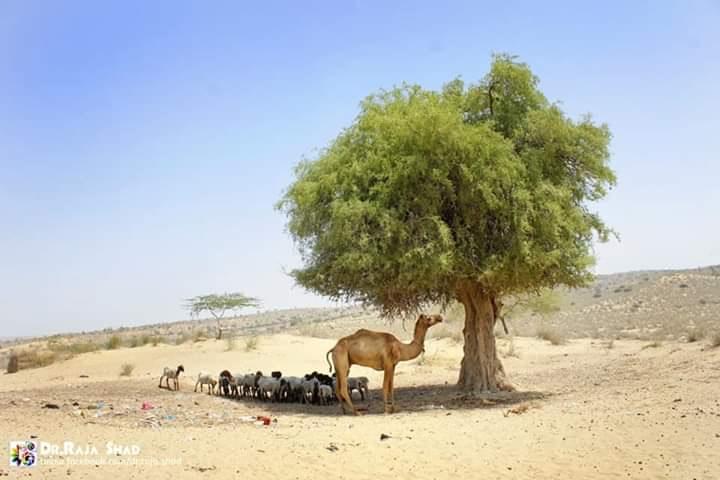 CamelTree2