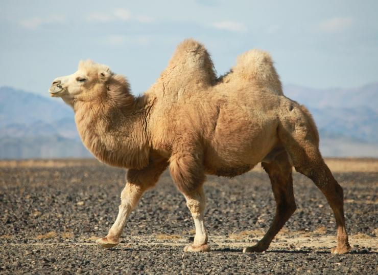 CamelTwoHumps