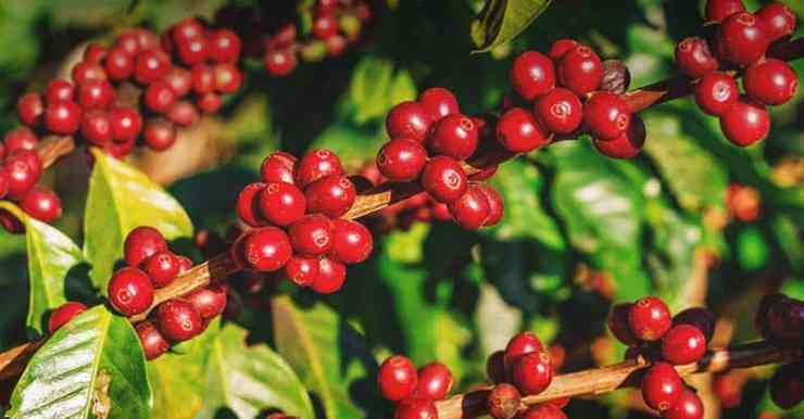 CoffeeBerries