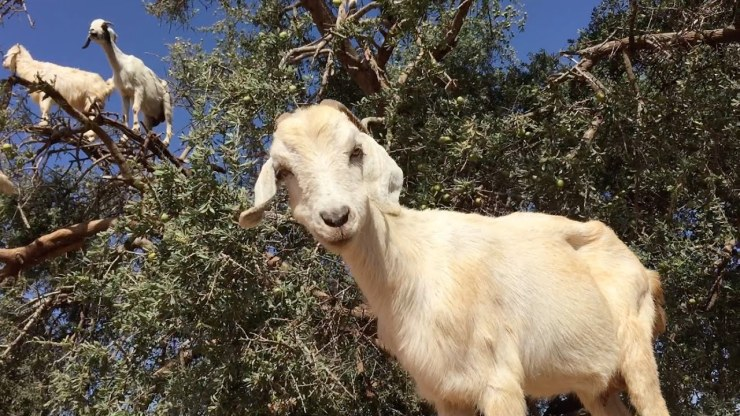 GoatsTree3