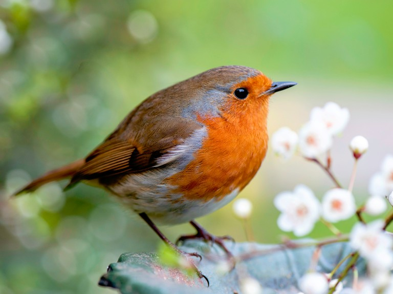 Close-up image of a European robin, known simply as the robin or robin redbreast in the British Isles