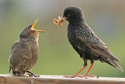 starlingfeeding