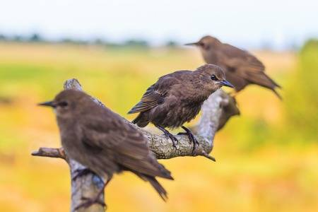 YoungStarlings